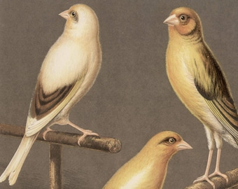 Canaries - Goldfinch and Canary Mule, original antique print, c1880