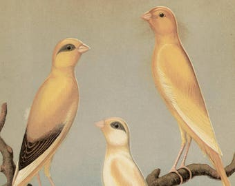 Canaries - Yorkshire Canaries, original antique print, c1880