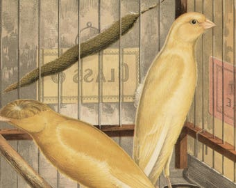 Canaries - Manchester or Lancashire Coppies, original antique print, c1880