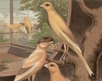 Canaries - Cinnamon Canaries, original antique print, c1880