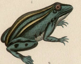 Frogs - Antique French 19th century natural history engraving with hand-colouring, circa 1835
