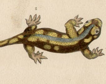 Lizards - Antique French 19th century natural history engraving with hand-colouring, circa 1835