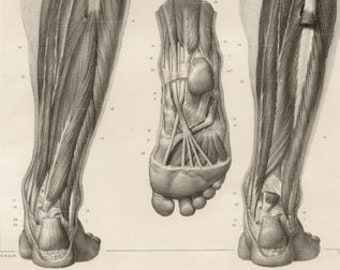 Anatomical study, French lithograph, c1830