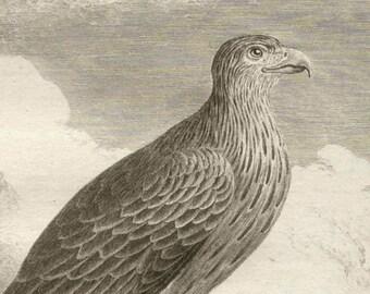 Le Milan - Antique French 18th century bird of prey engraving after De Seve, circa 1770.