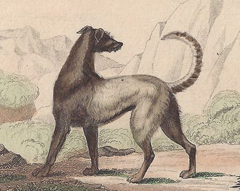 Le Chien d'Irlande and Le Chien de Berger (Irish Wolfhound and Sheepdog) - Antique French natural history engraving, c1835