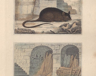 Rat and Mouse - Antique French natural history engraving, c1835