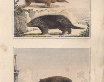 Urson - North american porcupine & Asiatic Hedgehogs - Antique French natural history engraving, c1835