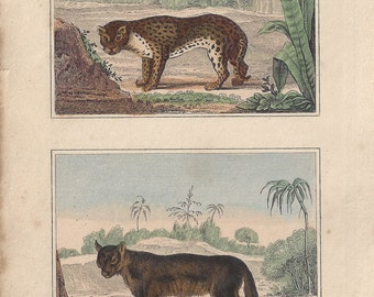 Jaguar and Cougar - Antique French natural history engraving, c1835