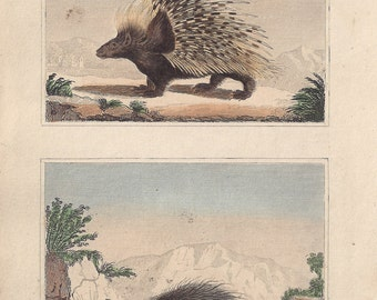 Porcupines - Antique French natural history engraving, c1835
