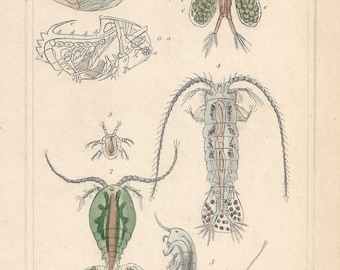 Crustaceans - Cyclops, Cypris and others, original antique natural history engraving, 1837