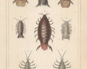 Crustaceans - Marine louse, original antique natural history engraving, 1837