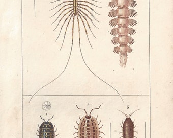 Millipede, original antique French natural history engraving, 1823