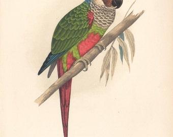 White-Eared Conure, original antique parrot print, c1885