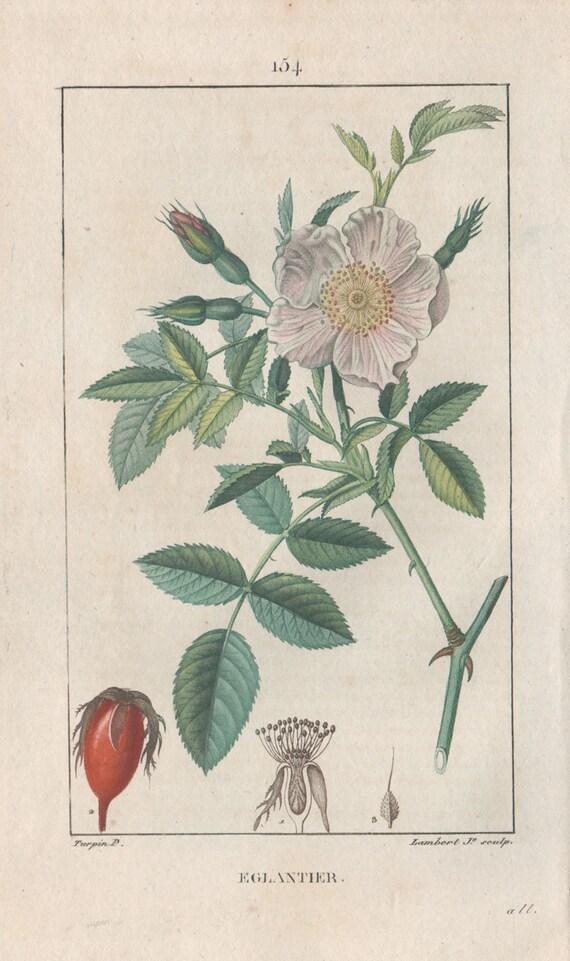 Eglantier Dog Rose French Herbal Medicinal Botanical Etsy