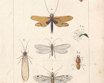 Net-winged insects, original antique French natural history engraving, 1823