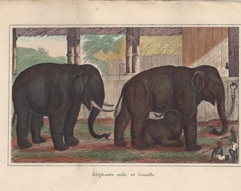 Elephants - Antique French natural history engraving, c1835