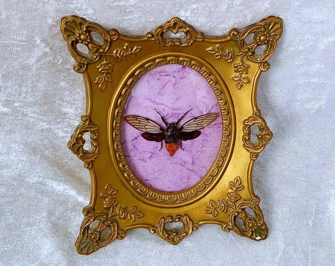 Small Red-Devil Cicada - Vintage Frame - Purple Crinkle: Oddities Curiosities Gothic Macabre Entomology Insect Art Taxidermy