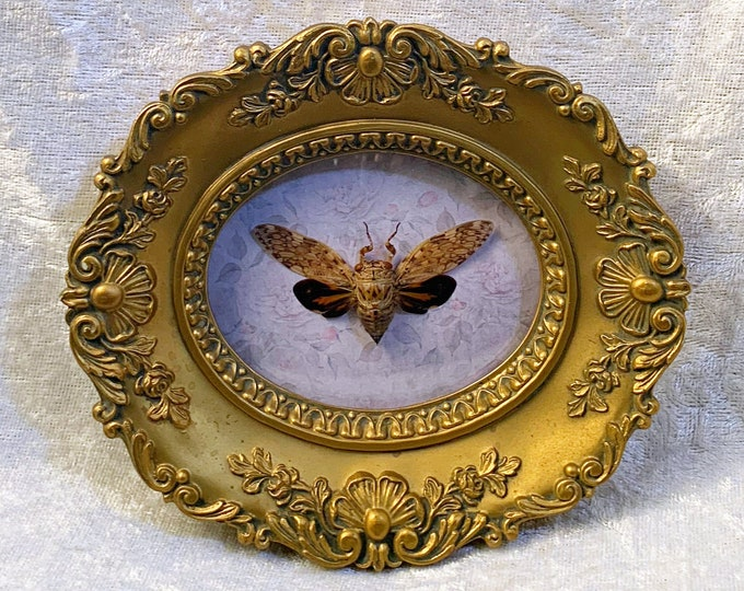 Small Cicada - Vintage Frame - Distressed Floral: Oddities Curiosities Gothic Macabre Entomology Insect Art Taxidermy
