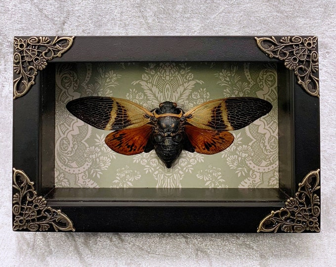 Orange/Brown Cicada - Sage Green Victorian Wallpaper: Oddities Curiosities Gothic Macabre Entomology Insect Art Taxidermy Witchy Weird Decor