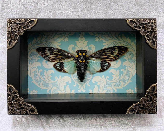 Turquoise Cicada - Turquoise Damask: Oddities Curiosities Gothic Macabre Entomology Insect Art Taxidermy Witchy Spooky Unusual Weird Decor