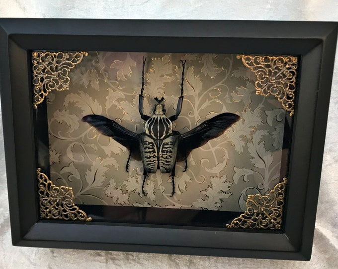 Victorian Goliath Beetle