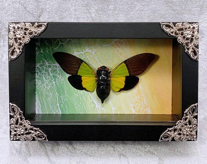 Green & Yellow Cicada - Green/Yellow Acid Wash: Oddities Curiosities Gothic Macabre Entomology Insect Art Taxidermy Weird Unusual Decor