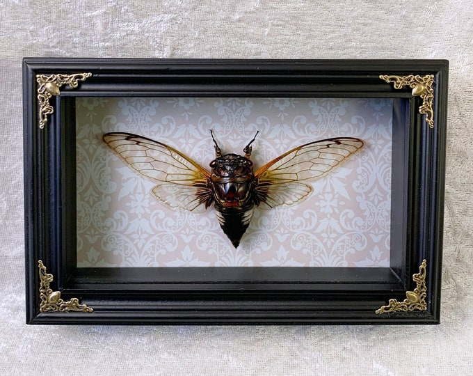 White Spotted Cicada - Ornate Cream Pattern: Oddities Curiosities Gothic Macabre Entomology Insect Art Taxidermy