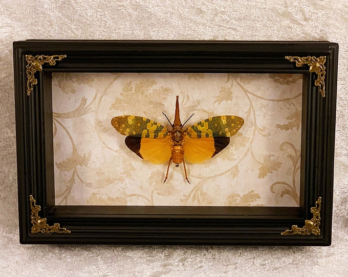 Yellow Lanternfly - Beige Botanical: Oddities Curiosities Gothic Macabre Entomology Insect Art Taxidermy