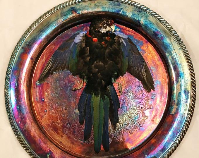 Black Eastern Rosella: Bird Taxidermy