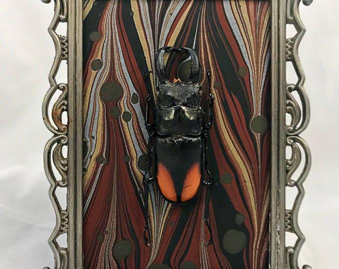 Marble Stag Beetle