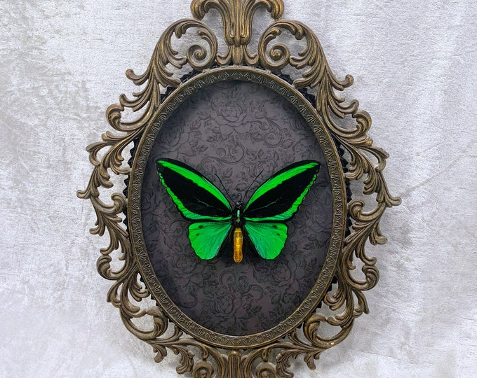 Green Birdwing Butterfly - Antique Frame - Gray Floral: Oddities Curiosities Gothic Macabre Entomology Insect Art Taxidermy Witchy Decor