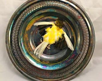 Canary: Bird Taxidermy