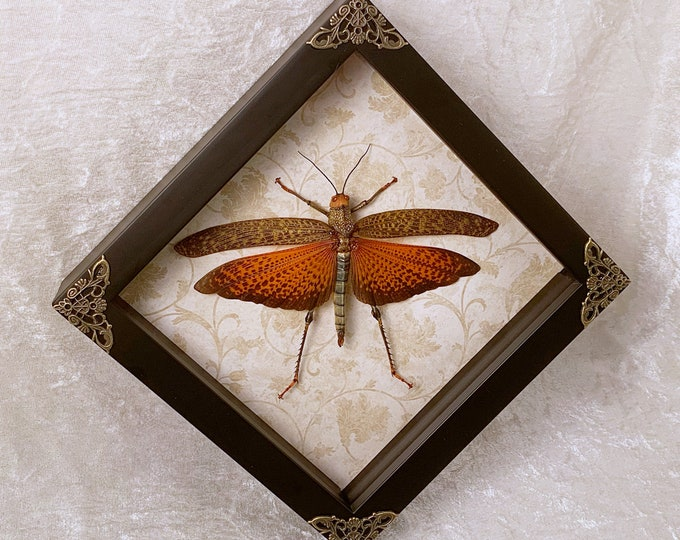 Giant Orange Grasshopper - Distressed Beige Botanical: Oddities Curiosities Gothic Macabre Entomology Insect Art Taxidermy