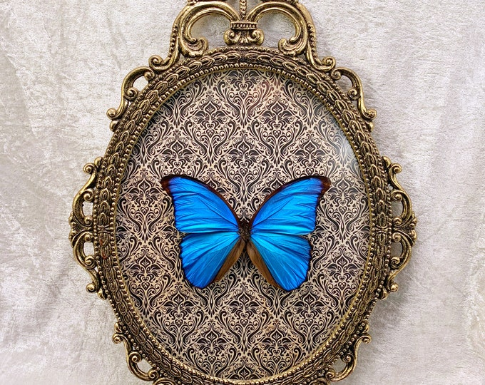 Giant Blue Morpho Butterfly - Antique Frame - Black & White Damask: Oddities Curiosities Gothic Macabre Entomology Witchy Insect Taxidermy
