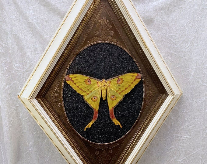 Comet Moth - Extra Large Vintage Diamond Frame - Black Glitter: Oddities Curiosities Gothic Macabre Entomology Insect Art Taxidermy Witchy