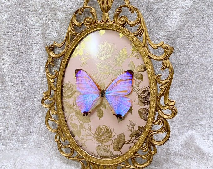 """Pearl """"Moonstone"""" Morpho Butterfly - Antique Frame - Metallic Gold Roses: Oddities Curiosities Gothic Macabre Entomology Insect Taxidermy"""