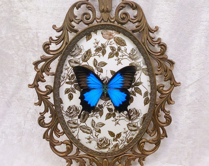 Blue Mountain Swallowtail - Antique Frame - Gold Metallic Roses: Oddities Curiosities Gothic Macabre Entomology Insect Art Taxidermy Witchy