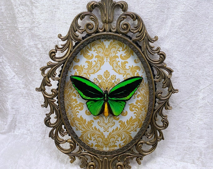 Green Birdwing Butterfly - Antique Frame - Mustard Damask: Oddities Curiosities Gothic Macabre Entomology Insect Art Taxidermy Witchy Decor