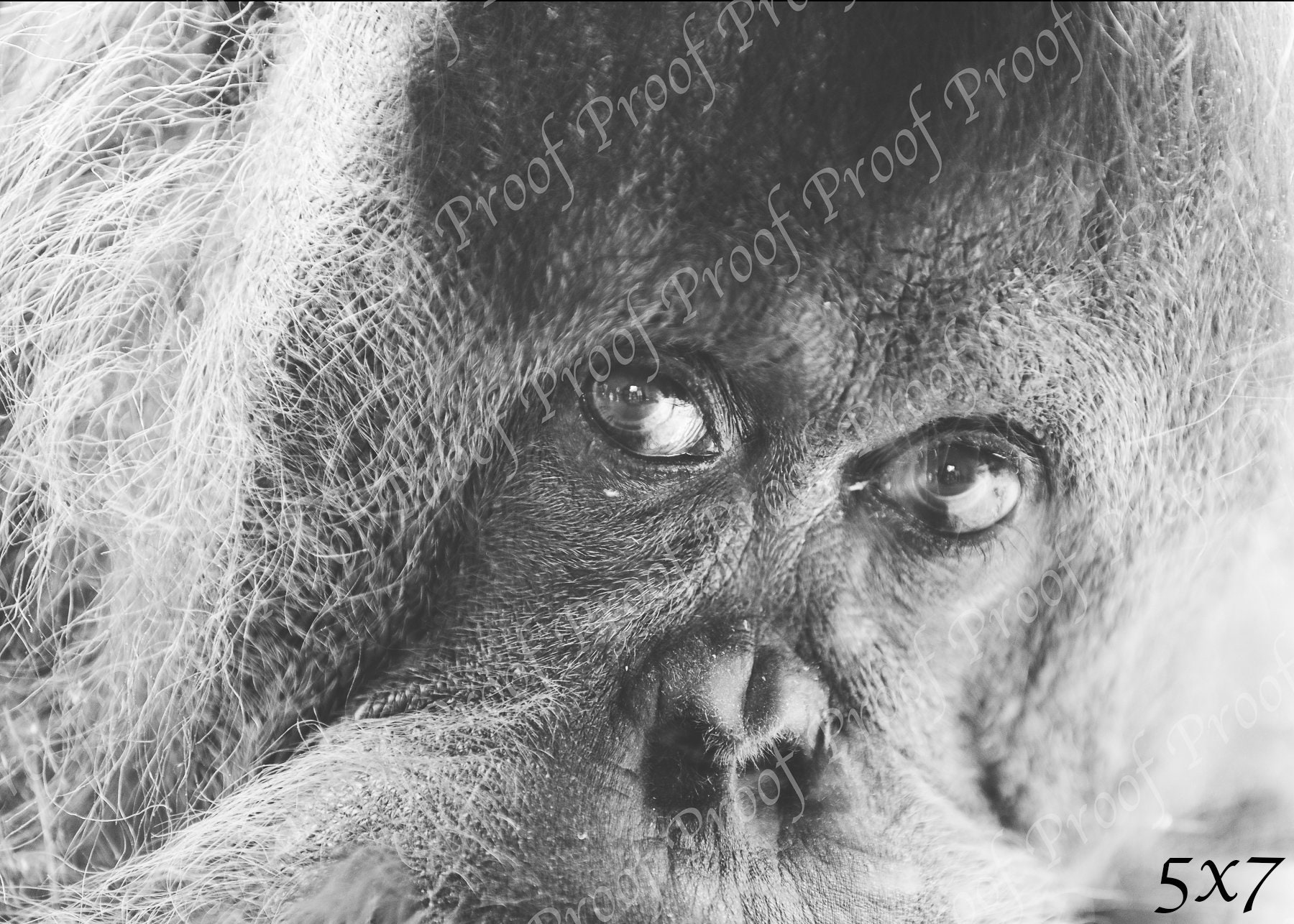 Orangutan black and white print zoo jungle animal photography printed wall art home decor eyes monkey fur