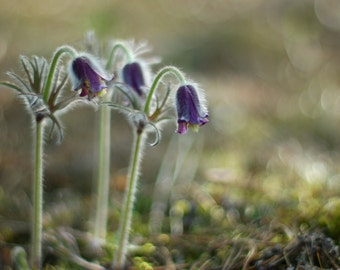 Nature photography direct download, bokeh photography, spring photography, flower photo, wall art, home decore, printable art, pasqueflower