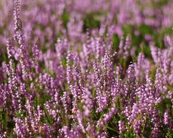 Autumn photography, Digital download nature photography, purple heather, instant download photography, printable art, wall art, home decore