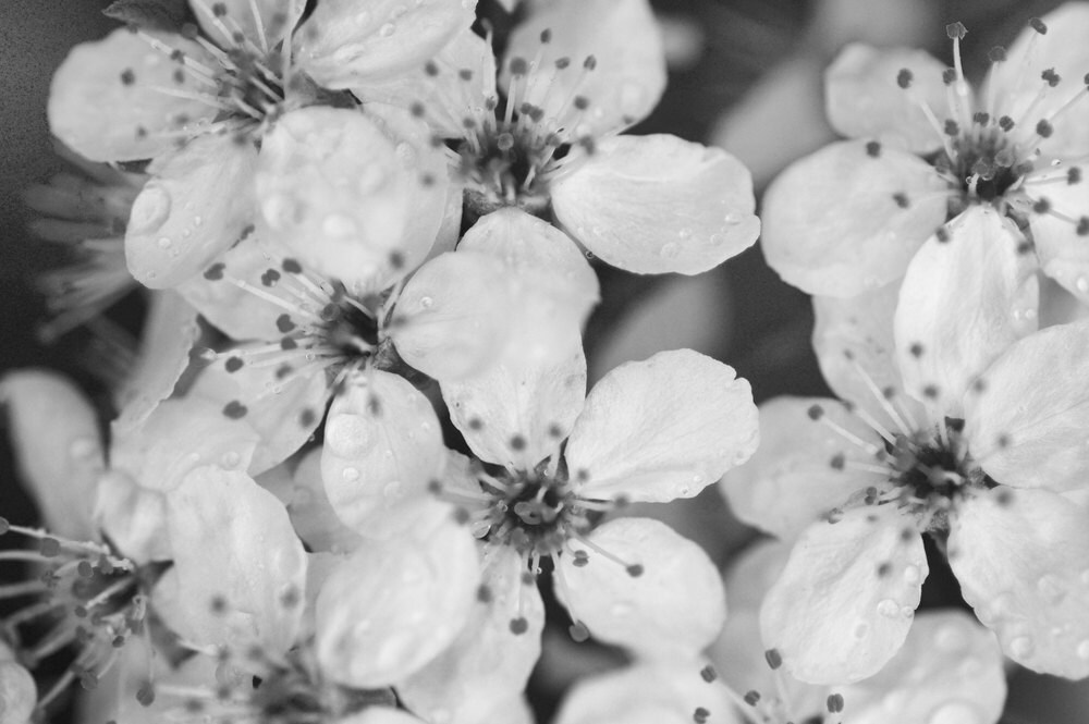 Black And White Nature Photography Cherry Blossom