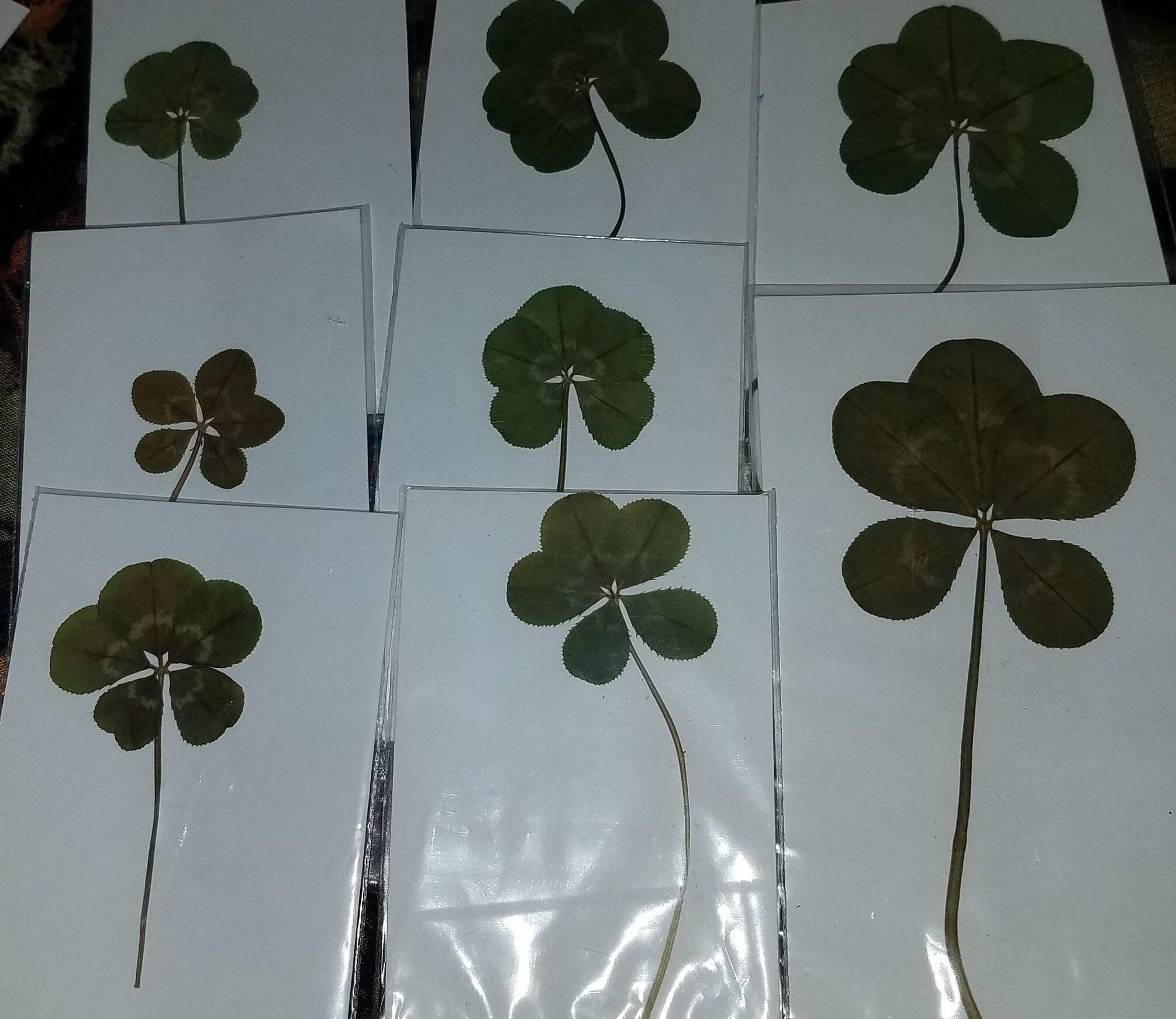 Real Four Leaf Clover Larger than Quarter 4 Leaf Clover Good Luck Item