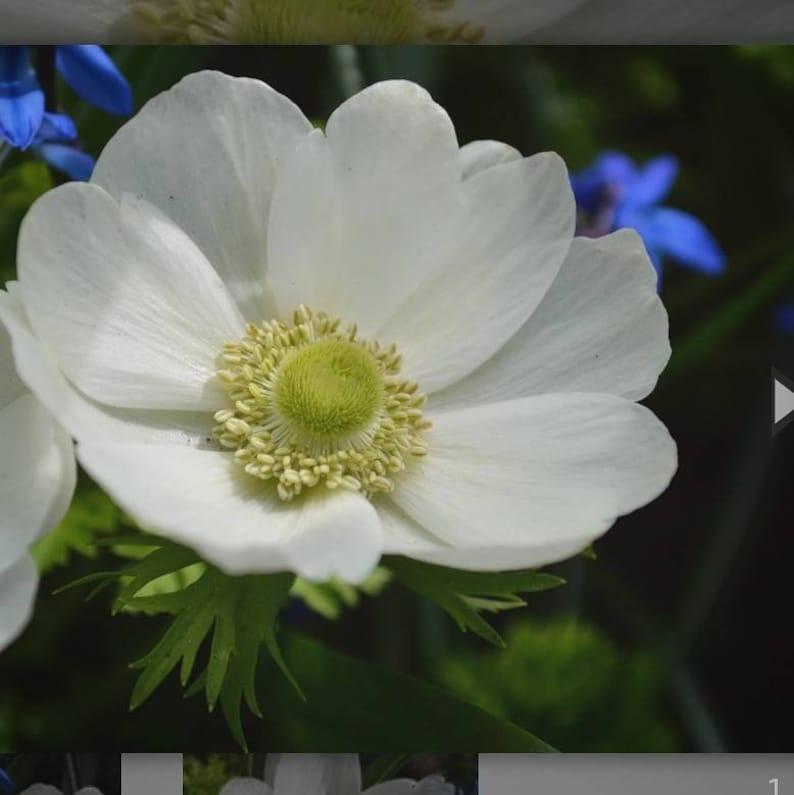 Three Anemone de Caen Bulbs  the bride image 0