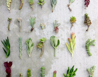 "28 Separate Variety Succulent Cuttings, 3""-6"", Free Shipping Organic Succulents Bulk Succulents Succulent Starters Live Succulents Clippings"