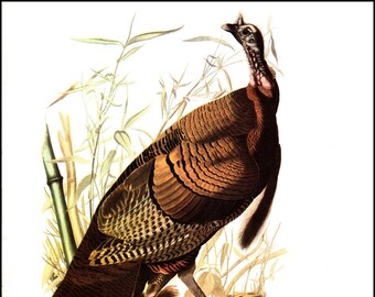 Wild Turkey And Yellow Billed Cuckoo JJ Audubon Bookplate The Page Is Approx 85 Inches Wide 12 Tall