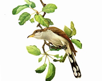 Yellow Billed Cuckoo Painted By J F Landsdowne For Birds Of The Eastern Forest1 Page Is 9 1 2 Inches Wide And 13 Tall