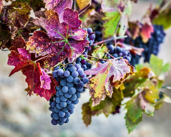 Colorful Wine Grape Vineyard Wall Art Modern Wine Decor | Etsy