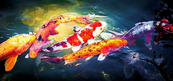 Panoramic Koi Fish Asian Wall Art Fine Art Photography