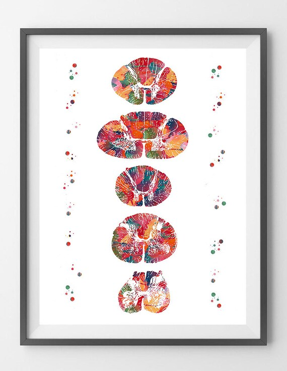 Anatomy Art Print Spinal Cord Cross Section Poster Cervical Etsy